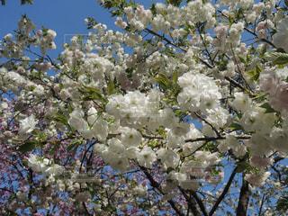 たわわに咲く八重桜の写真・画像素材[1773063]
