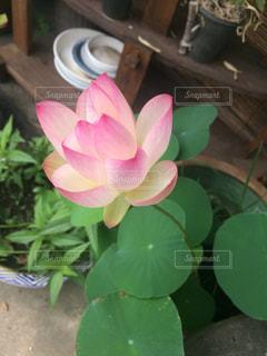 植物にピンクの花の写真・画像素材[1773133]