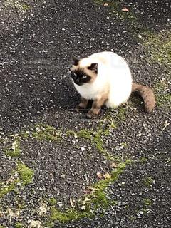 野良のシャム猫の写真・画像素材[1773813]
