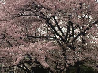 ピンクの花の木の写真・画像素材[1775297]