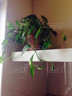 観葉植物の写真・画像素材[1777573]