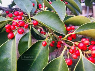 果物の木の上に座っているの束の写真・画像素材[1779132]