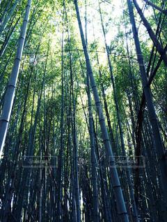 竹林の写真・画像素材[1779477]