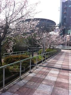 大阪の櫻の写真・画像素材[1774415]