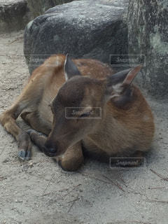 鹿、休憩中の写真・画像素材[1774418]
