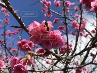 奄美の桜の写真・画像素材[1776422]
