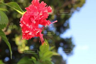南国の赤い花の写真・画像素材[1779638]