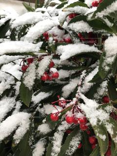 雪と万両の写真・画像素材[1779709]