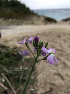 海辺のハマダイコンの写真・画像素材[1790293]