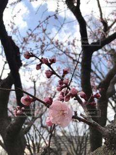梅の花 咲くの写真・画像素材[1848363]