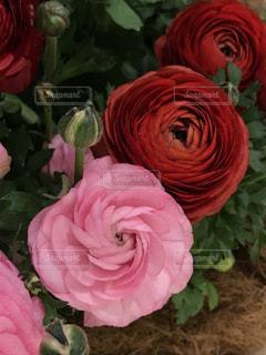 ピンクと赤のラナンキュラスの写真・画像素材[1859773]