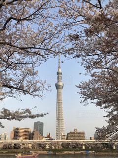 スカイツリーと桜の写真・画像素材[1971390]