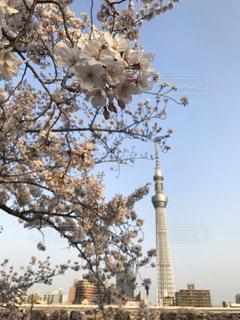 桜とスカイツリーの写真・画像素材[1971460]
