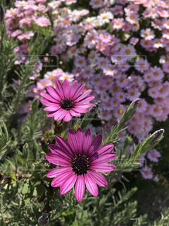 ピンクの花々の写真・画像素材[2036556]