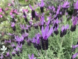 ラベンダーの花の写真・画像素材[2106164]