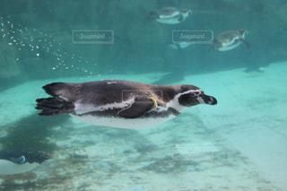 水中を泳ぐペンギンの写真・画像素材[2687612]