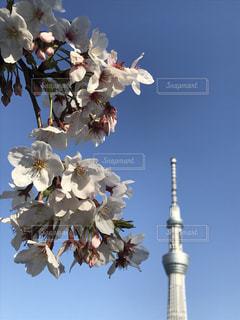 桜とスカイツリーの写真・画像素材[3055250]