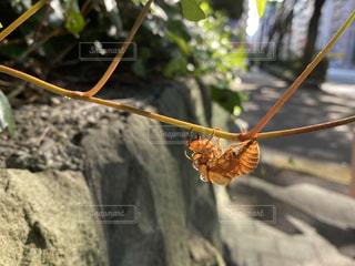 セミの抜け殻の写真・画像素材[3514107]