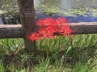 水辺に咲く赤い彼岸花の写真・画像素材[1774486]