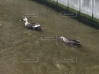 水路を泳ぐ鴨たちの写真・画像素材[1878475]