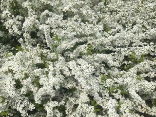 白い小さな花たちの写真・画像素材[1878901]