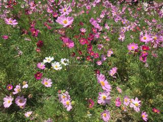 コスモスの花の写真・画像素材[2147843]