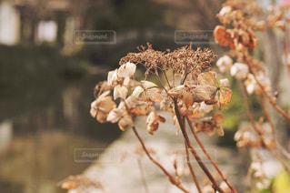 枯れた花の写真・画像素材[1775136]
