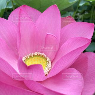 蓮の花の写真・画像素材[1779700]