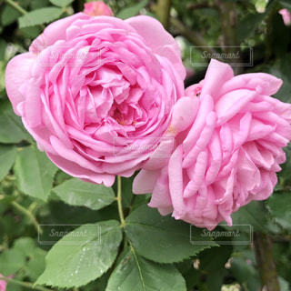 芍薬の花の写真・画像素材[1779705]
