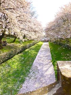 川に浮かぶ桜の花びらの写真・画像素材[1780790]