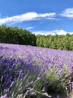 ラベンダー畑と青空の写真・画像素材[1783026]