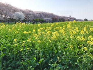 桜並木と菜の花畑の写真・画像素材[1783427]