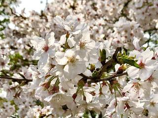 桜の花の写真・画像素材[1783451]