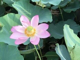 満開のハスの花の写真・画像素材[1784410]