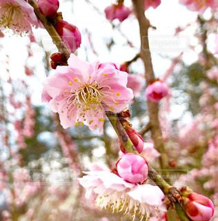 梅百花園に咲く花の写真・画像素材[1851473]