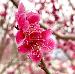 宝登山の梅林に咲く花の写真・画像素材[1851474]