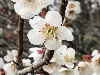 秩父宝登山の白梅の写真・画像素材[1851475]