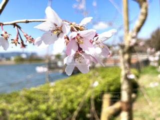 一本の桜の枝の写真・画像素材[1886300]