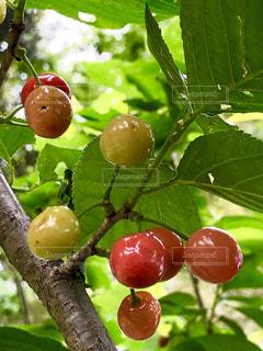 さくらんぼの木の写真・画像素材[2122468]
