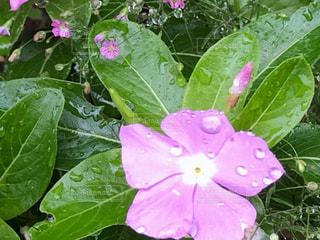 雨上がりの日々草の写真・画像素材[2238241]