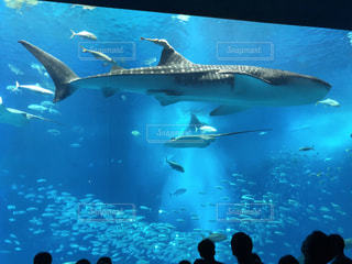優雅に泳ぐジンベイザメの写真・画像素材[2403500]
