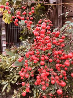 庭の木の実の写真・画像素材[1775907]
