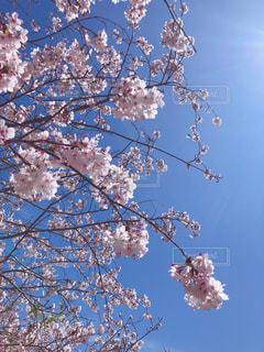 桜の写真・画像素材[2064708]