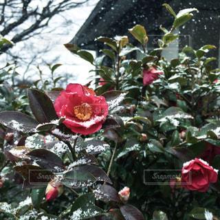 椿の花と雪の写真・画像素材[1776618]