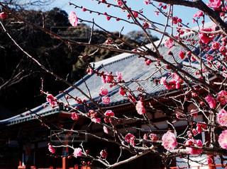 梅の写真・画像素材[1788678]