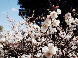梅の写真・画像素材[1813025]