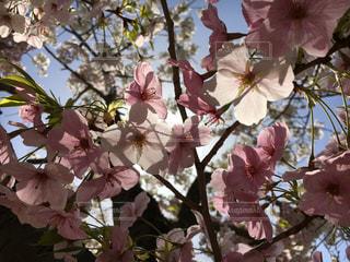陽を透かした花びら☆iPhoneの写真・画像素材[1827836]