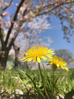 たんぽぽと桜の写真・画像素材[1827842]