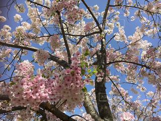 桜と空の写真・画像素材[1827843]