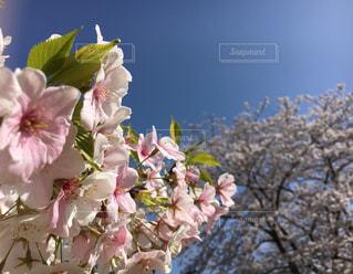 満開の葉桜の写真・画像素材[1827881]